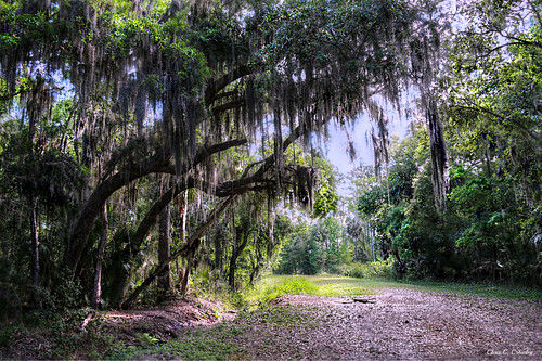 forestatbushmanpark portorangefl nature outdoors forest woods park trees spanishmoss landscape