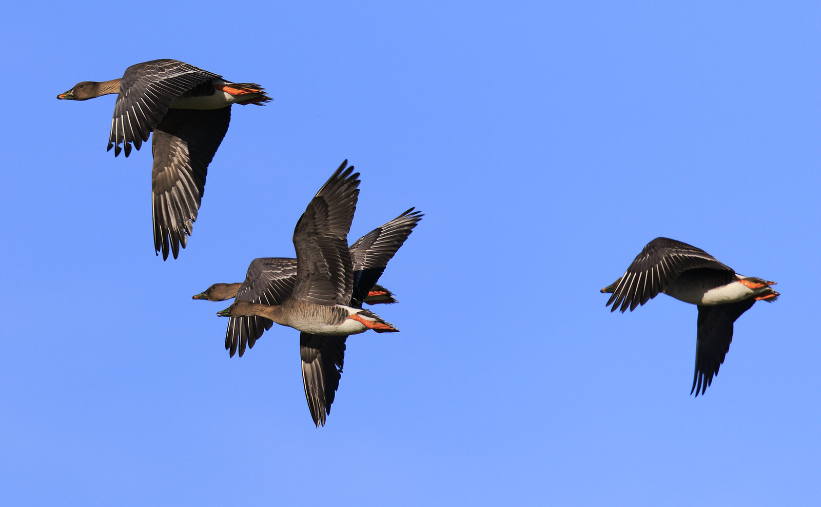 Tundra Bean Geese [rossicus]