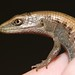 Flickr photo 'Juvenile alligator lizard?' by: lectroidmarc.