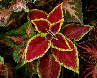Salvia ornamentale | by renagrisa