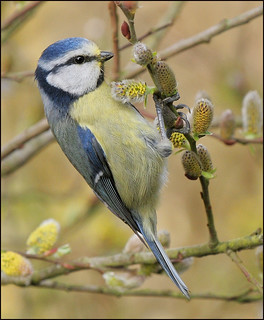 Blue Tit 4 | by jimmyedmonds