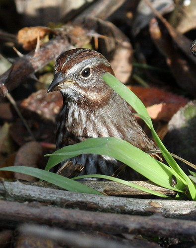 Song Sparrow - Melospiza melodia morphna | by Engilis Photos