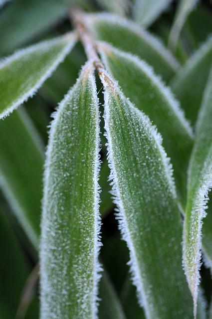 Frosty Fargesia rufa
