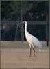Whooping Cranes by ViNa...!!!