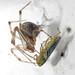 Parasteatoda tepidariorum alimentándose de Cicadella viridis by IES-MGB