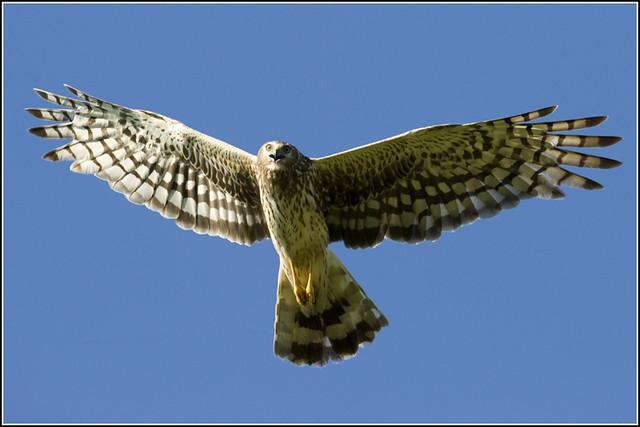 Hawk (Northern Harrier) - 0837