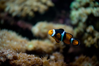 A lonely Clown Fish | by b.campbell65