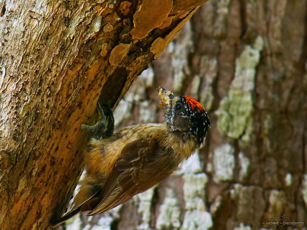 Pica-Pau-Anão-da-Caatinga macho, Ochraceous Piculet male (Picumnus limae)