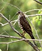 Levant Sparrow hawk by mcthaju