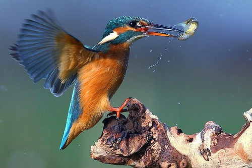 Kingfisher just landing with fish