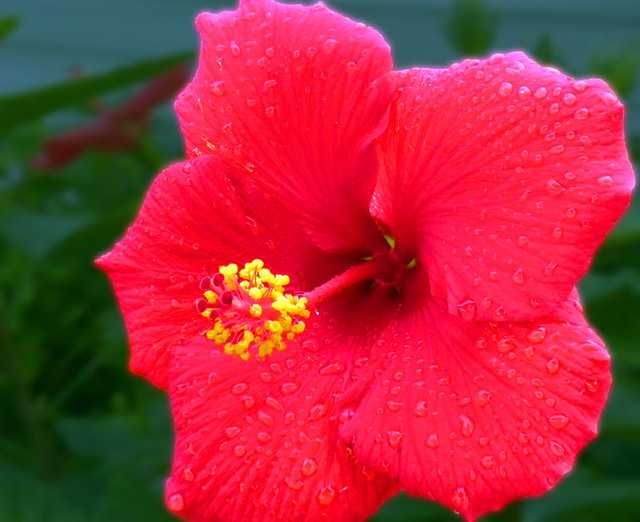 503n3652172 Red Hibiscus Flower With Yellow And Red Ce Flickr