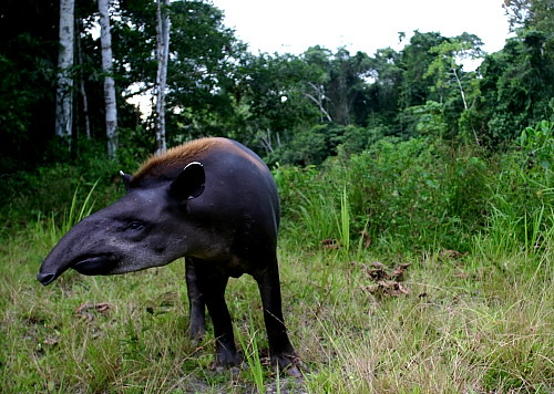 Tue, 06/23/2009 - 22:44 - Tapir at field station (June 2009). Credit: Markku Larjavaara