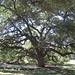 Texas A&M University - Century Tree 2 by BrianACreech