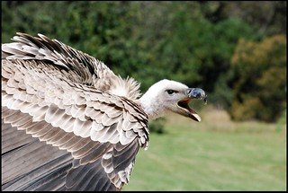 Cape Vulture | by zenseas