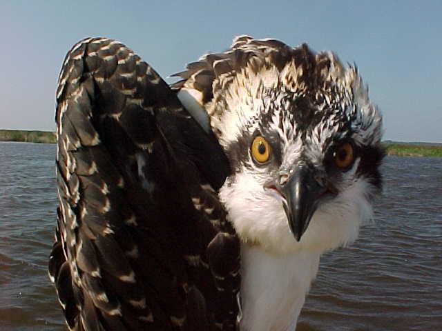 Photo of the Week - Osprey at Back Bay National Wildlife Refuge (VA)