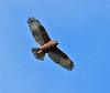 'IO  or Hawaiian Hawk by hearman