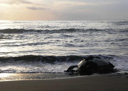 Tartaruga a regressar ao mar depois da desova II