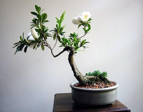 Bonsai | by Andreas D.