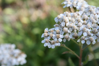 Flora: Yarrow 2696 | by Yukon White Light