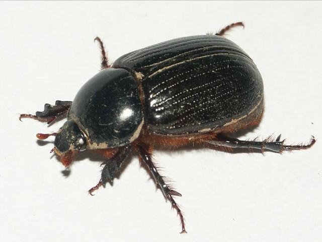 Christmas Beetles.Christmas Beetle Here In Oz We Call Them Christmas Beetles