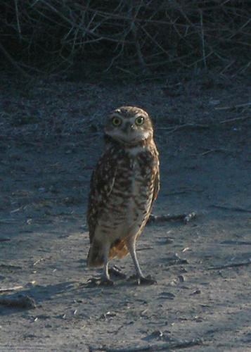 Burrowing Owl of Ballona