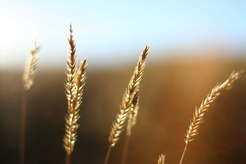 sunset macro 50mm wheat f18 18 ©tylerknottgregson