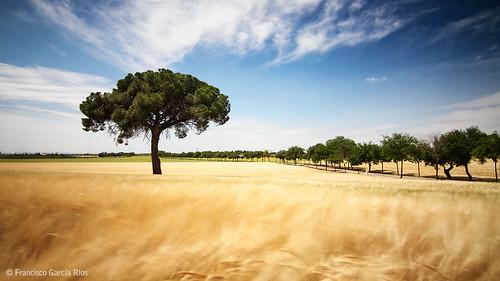 sky españa tree primavera field landscape spring spain wind country grain windy ears paisaje viento cielo árbol campo top20 spikes albacete espigas fuensanta espigado recesvintus haidaslimproiimcnd301000x hoyamurciana franciscogarcíaríos