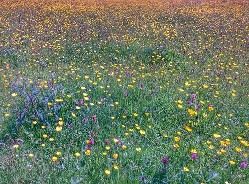 Wild Flowers (06/06/2015)