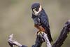 Falco rufigularis by edusfranco