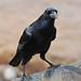 Flickr photo 'Northern Raven' by: sanderling2000.