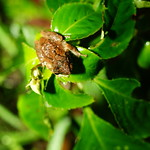 Chirixalus idiootocus(面天樹蛙)