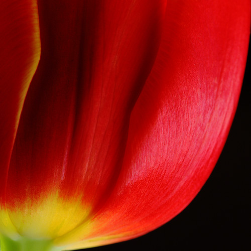 TuliPetalRed by AnyMotion