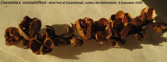 Crocosmia x. crocosmiiflora - frt Calandstraat, Leiden, NL 8 Sept 2008 02 Leo
