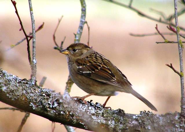 Juvenile Golden-Crowned Sparrow