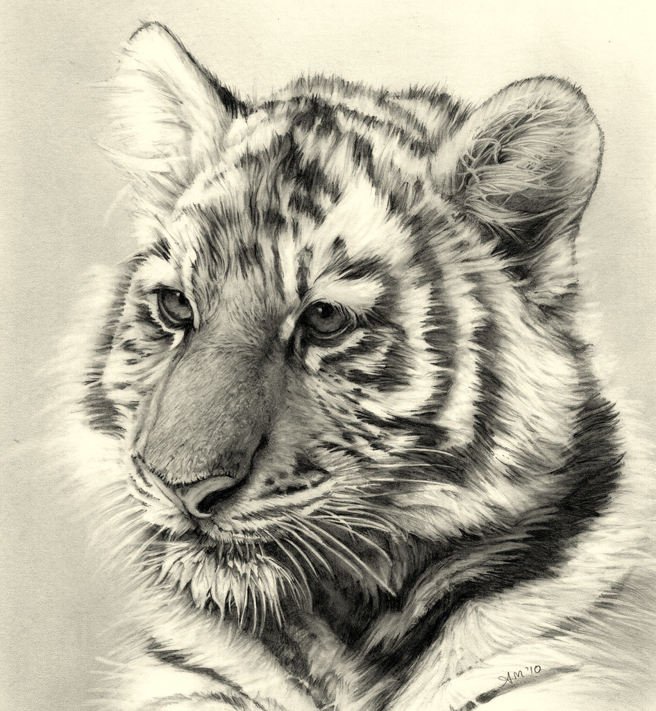 Tiger cub pencil drawing by andream66
