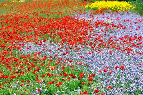 flowers primavera field spring campo fiori sicilia petrosino