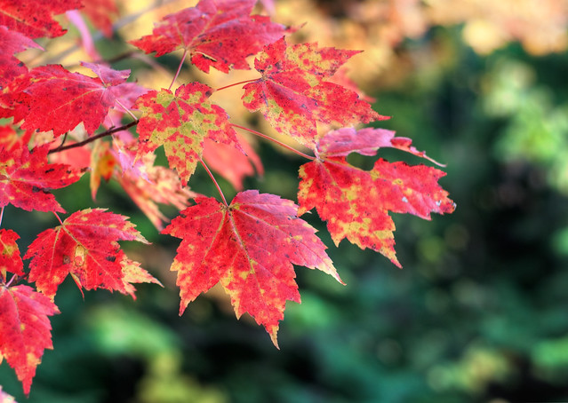 Autumn Leaves of the Indian Summer