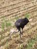 Hooded Crane feeding by blueeyes_inoki