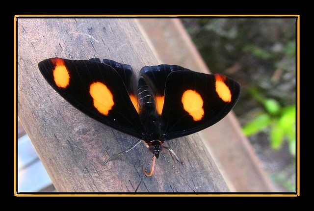 Brasilien - Iguassu - Schmetterling,orange-schwarz 1/12348