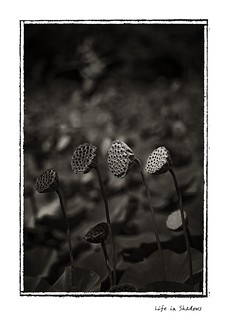 Lotus eaters | by yoyomaoz