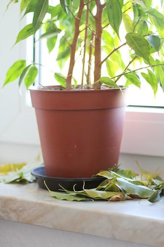 Blattfall beim Ficus benjamina