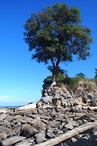 Arbutus Tree at Georgina Point, Mayne Island, Southern Gulf Islands, British Columbia