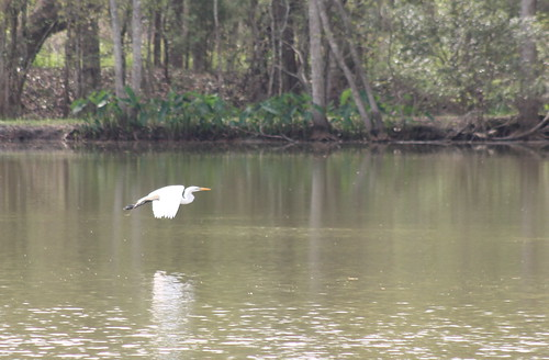 egret greategret ardeaalba bird wadingbird