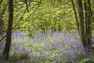 Bluebells in Cely Woods 2