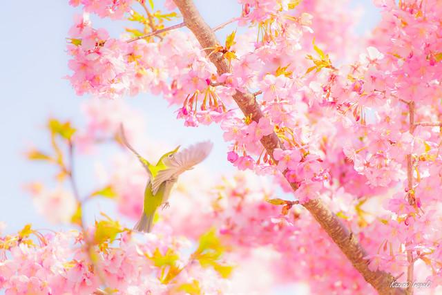 White-eye and Kawazu cherry blossoms
