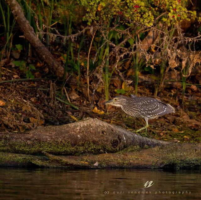 juvenile night-heron