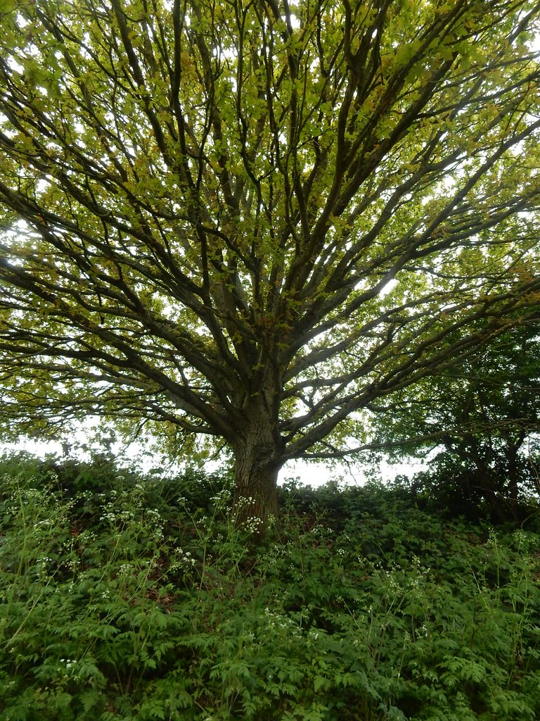 Big tree Cuxton Circular