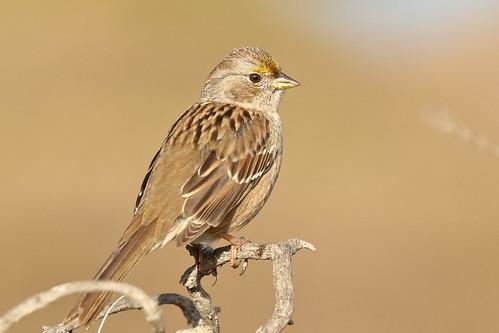goldencrownedsparrow sparrow newworldsparrow zonotrichiaatricapilla donedwardsnwr donedwardsnationalwildliferefuge sanjose california immaturebird 1stwinter 1stwinterbird bird bokeh perched perchedbird