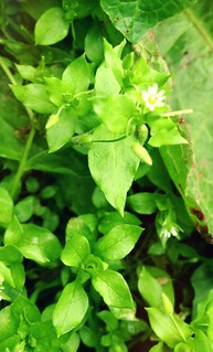 Chickweed, crunchy and delicious | by William Parsons Pilgrim