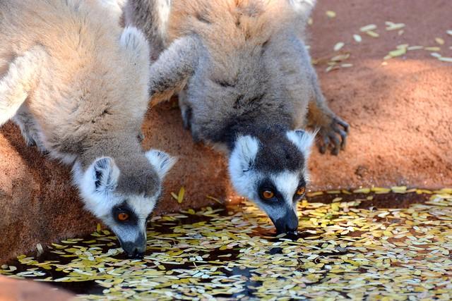 Pair of Ring-tailed Lemurs at Berenty, South Madagascar.
